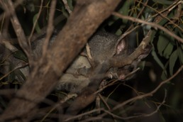 Glimpse of a Brushtail Possum