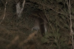 Butt of a Western Grey Kangaroo