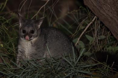 Common Brushtail Possum @ Dawesville