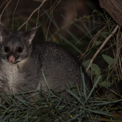 Common Brushtail Possum @ Dawesville