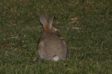 Feral rabbit @ Dawesville