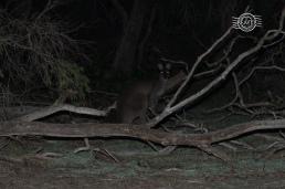 Western grey kangaroo @ Wonnerup