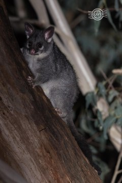 Common brushtail possum @ Gosnells, WA