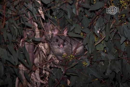 Common brushtail possum @ Gosnells, WA