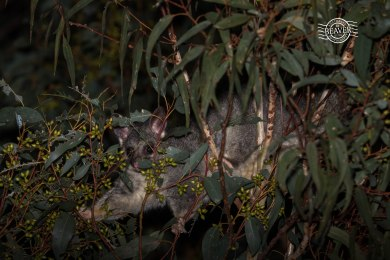 Common brushtail possum @ Gosnells