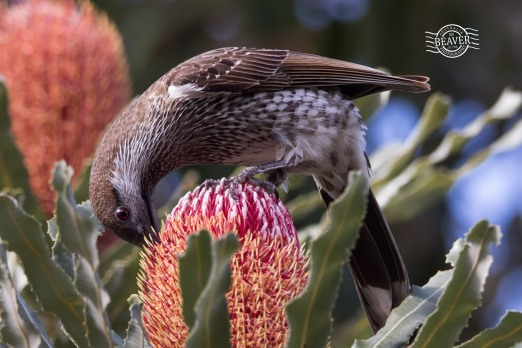 Western wattlebird @ Piney Lakes