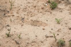 Probable numbat digging