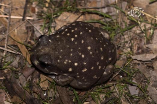 Western spotted frog @ Boyagin