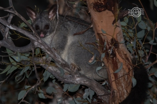 Brushtail possum @ Boyagin