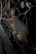 Brushtail possum @ Boyagin