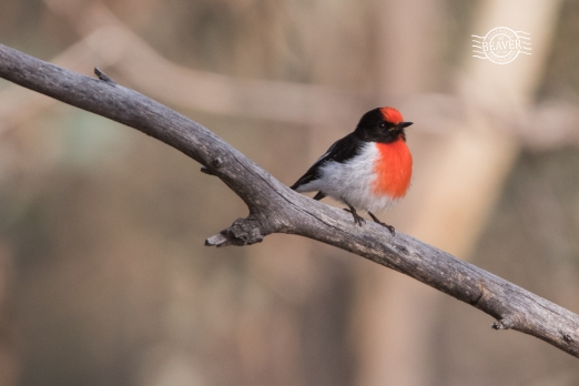 Red capped robin @ Boyagin