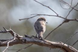 Red capped robin (female) @ Boyagin