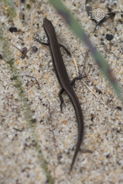 Common dwarf skink @ Kensington Bushland