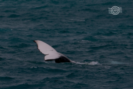 Humpback whales @ Perth waters