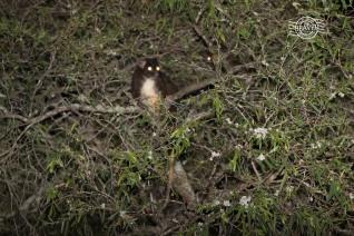 Western ringtail possum @ Busselton