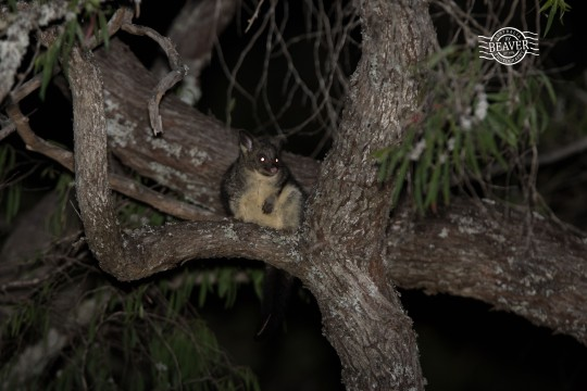 Common brushtail possum @ Busselton