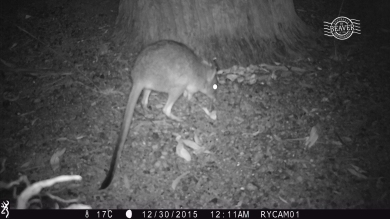 Woylie on camera trap @ Dryandra