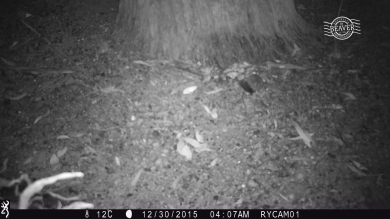 Red-tailed phascogale on camera trap @ Dryandra