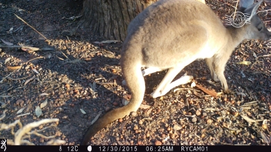 Western grey kangaroo on camera trap @ Dryandra