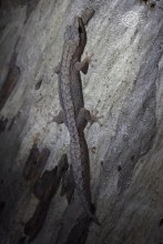 Reticulated velvet gecko @ Dryandra