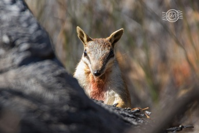 Numbat (male) @ Boyagin