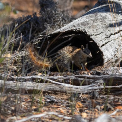 Numbat leaving log @ Boyagin