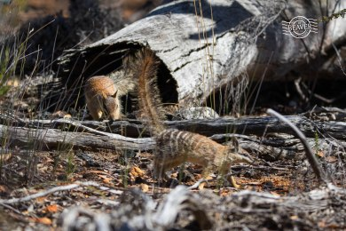 Numbat pair @ Boyagin