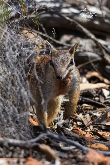 Numbat (male) @ Dryandra