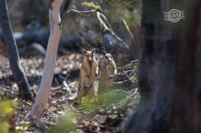 Numbat watching the watchers! @ Dryandra