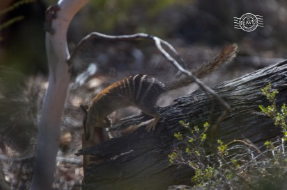 Numbat log dive! @ Dryandra
