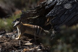 Numbat (female) @ Boyagin