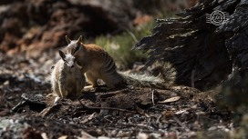Numbat pre-mating behaviour @ Boyagin