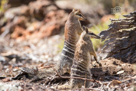 Numbat pair in defensive observation pose (Godzilla!) @ Boyagin