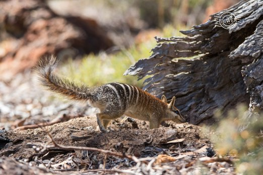 Numbat enterting the log @ Boyagin
