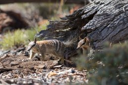 Numbat pair coming back out @ Boyagin
