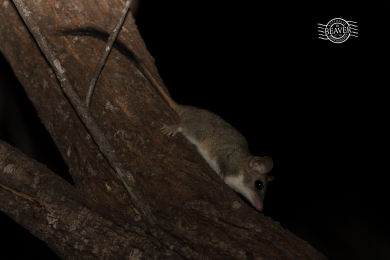 Red-tailed Phascogale @ Tutanning NR