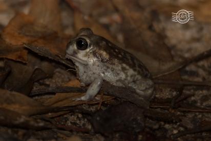 Sand frog @ Tutanning