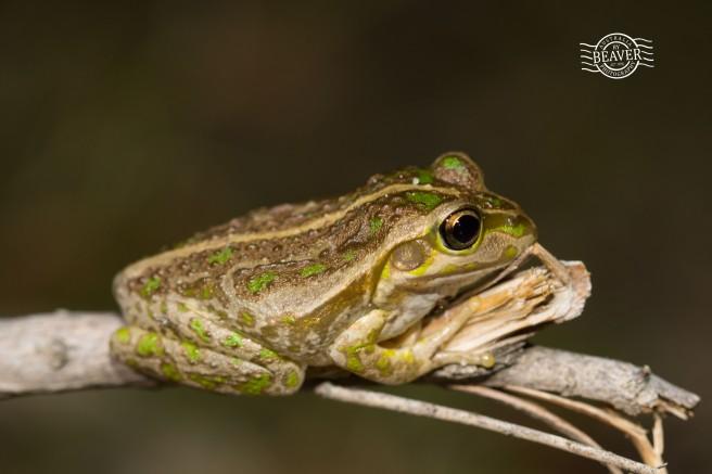 Motorbike frog @ Ballajura