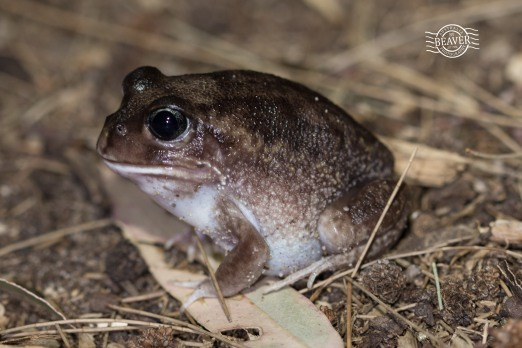Moaning frog @ Ballajura