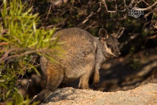 Black-flanked rock-wallaby @ Mt Caroline NR