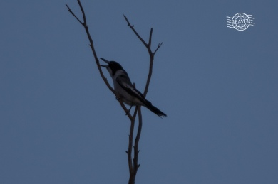 Grey butcherbird @ Mt Caroline NR