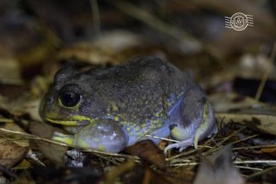 Hooting frog @ Chidlow