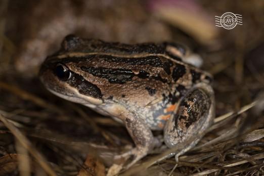 Western banjo frog @ Chidlow