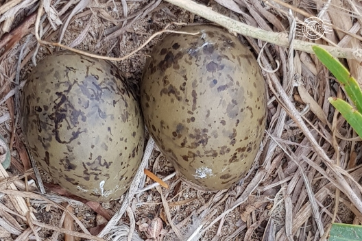 Silver gull eggs @ Penguin Is