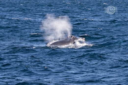 Humpback whale with yearling calf @ Rottnest Is
