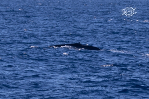 Blue whale juvenile @ Perth Canyon