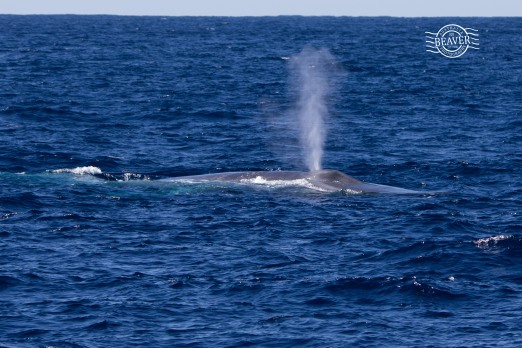 Blue whale @ Perth Canyon