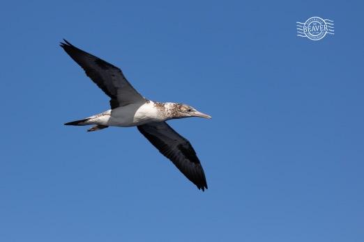 Australasian gannet @ Perth Canyon