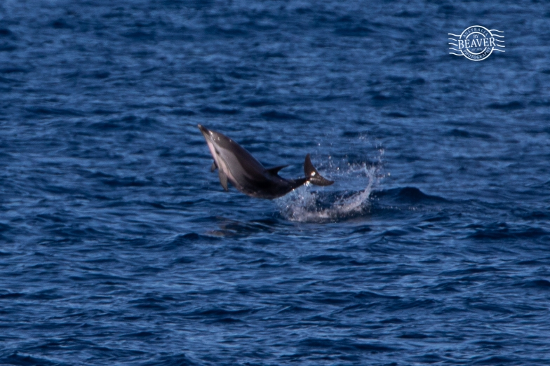 Striped dolphin @ Perth Canyon