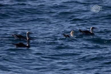 Australasian gannet @ Rottnest Is